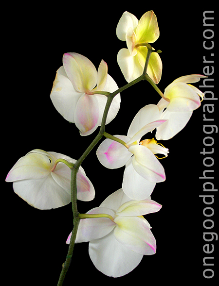 The End of the White Orchid