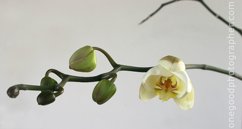 White Orchid, First Bloom
