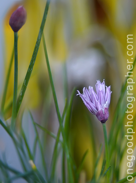 chives-copy