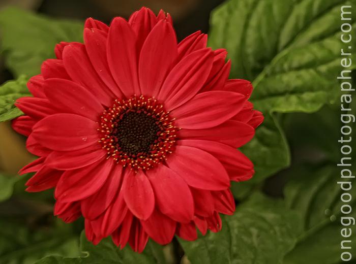 daisy_20081110_3306-copy