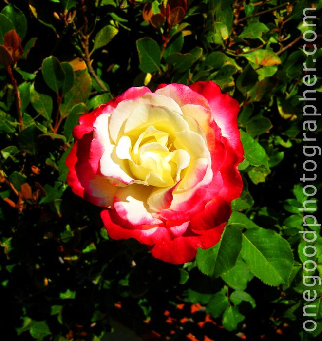 rose_0360-copy