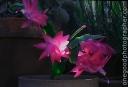 cactus_20081226_3679-copy