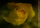 yellowrose_3604-copy