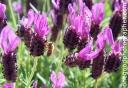 lavendar-copy