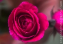 winter_rose_2240-copy