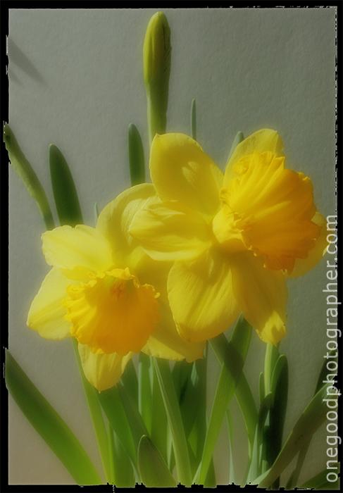 daffodils_2245a-copy