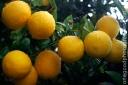 lemons_20090205_4194-copy1