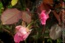 pinkrose_20090206_4205-copy