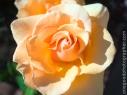 roses_20090324_5327-copy