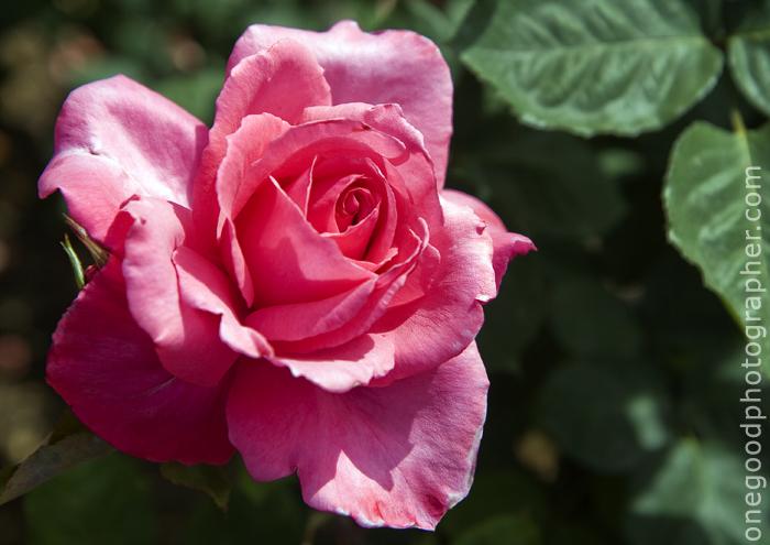 Pink Rose_7565 copy