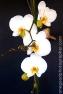 Orchids_1396
