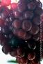 090824_Grapes