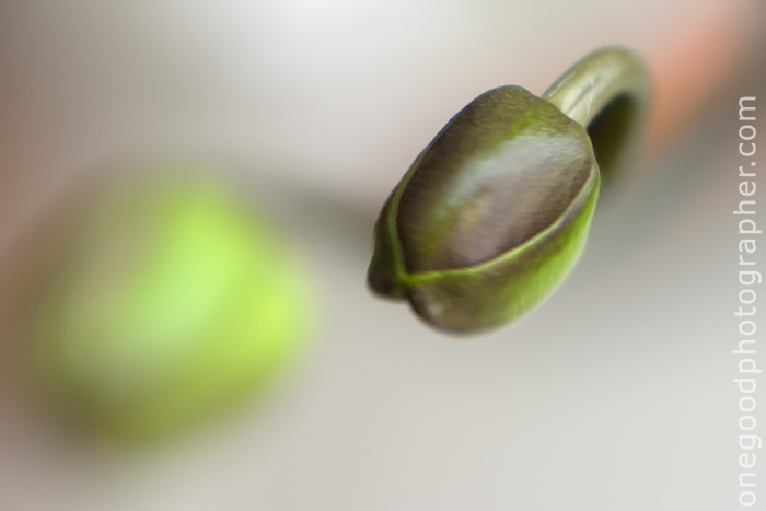 orchid_buds