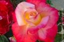 Rose_1377