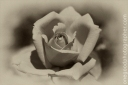 Rose_090907_2756