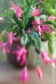 My mother's Christmas Cactus